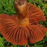 Butt giftslørsopp Cortinarius orellanus Foto: Andreas Kunze / CC BY-SA