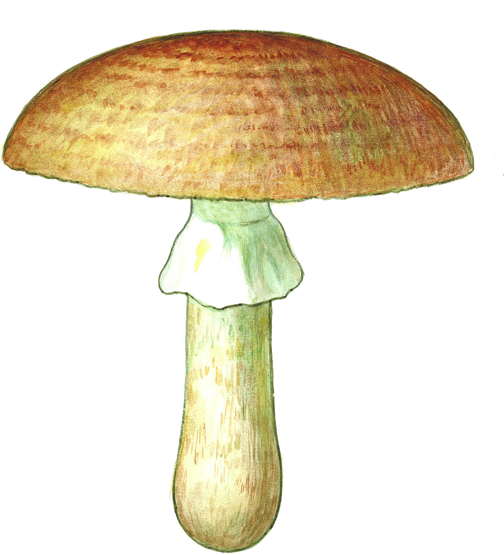 En akvarell av en åkersjampinjong som er laget av Inger Anne Lysebraate