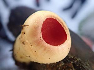 Skarlagen vårbeger Sarcoscypha austriaca. Foto: Jim-André Stene.