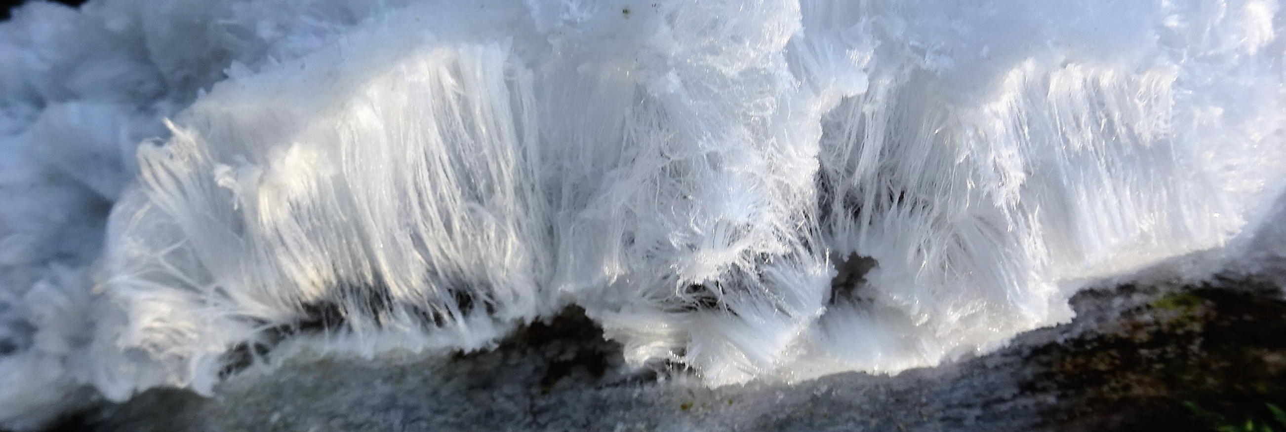 Isrose - frostrose - ishår - det vakre biproduktet laget av talgsoppen Exidiopsis effusa